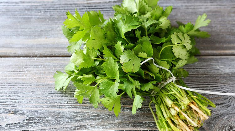 Bundle of cilantro tied together with a white ribbon