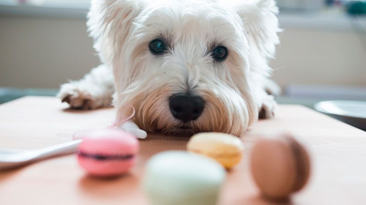Small white dog peering over a wooden counter to gaze longingly at three macaroons of different colors