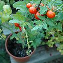 Container Tomatoes Photo