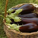 How to Grow Eggplant Photo