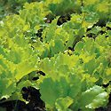 How to Grow Lettuce Photo