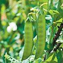 How to Grow Peas Photo