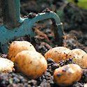 How to Grow Potatoes Photo