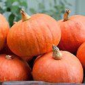 How to Grow Pumpkins Photo
